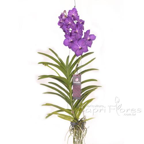 2351 Orquídea Vanda