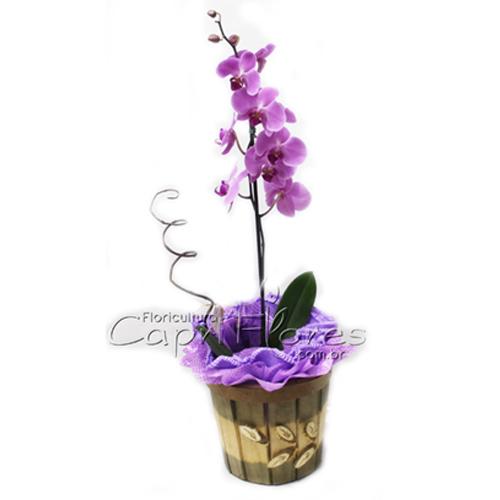 955 ♥ Orquídea Phalianópolis