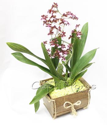 963 ♥ Orquídea Choc