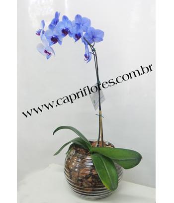 964 ♥ Orquídea Azul