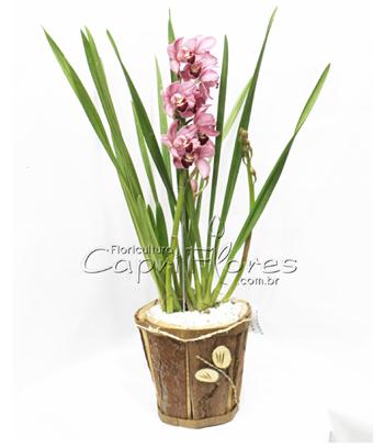 965 ♥ Orquídea Cymbidium Rosa
