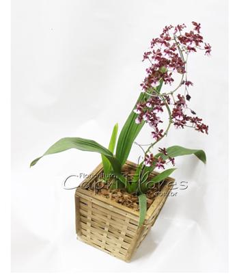 971 ♥ Vaso de Orquídea Chocolate